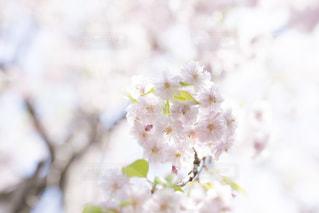 八重桜の写真・画像素材[1693301]