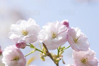 八重桜の写真・画像素材[1693302]