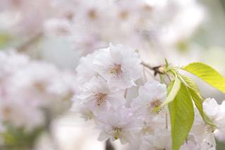 八重桜の写真・画像素材[1693303]