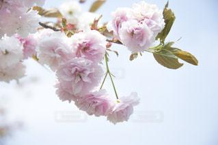 八重桜の写真・画像素材[1693304]