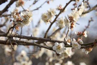 梅の花の写真・画像素材[1783428]
