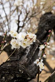 梅の花の写真・画像素材[1783429]
