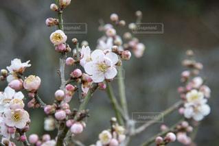 梅の花の写真・画像素材[1783430]