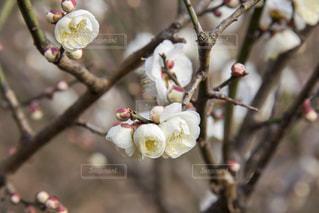 梅の花の写真・画像素材[1783432]