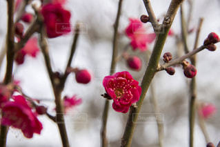 紅梅の写真・画像素材[1783433]