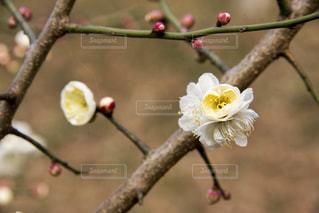 梅の花の写真・画像素材[1783435]