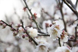 梅の花の写真・画像素材[1783436]