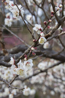 梅の花の写真・画像素材[1783437]