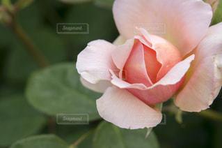 薔薇の写真・画像素材[2131640]