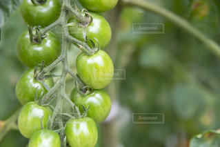 ミニトマトの写真・画像素材[2254419]
