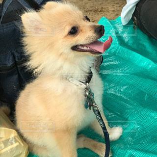 近くに犬のアップの写真・画像素材[922014]