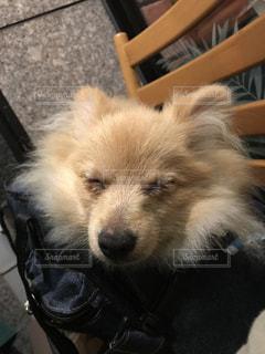 テーブルの上に座っている犬の写真・画像素材[922017]
