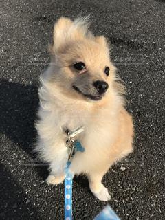 ひもに小さい茶色と白犬の写真・画像素材[922019]
