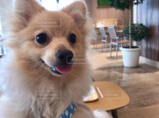 茶色と白の犬をテーブルの上に座っての写真・画像素材[922020]