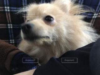 カメラを見て犬の写真・画像素材[922021]