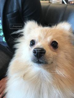 カメラを見て茶色と白犬の写真・画像素材[922022]