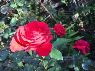 赤いバラの写真・画像素材[1641209]