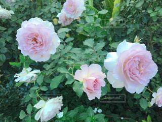 ピンクのバラの写真・画像素材[1643335]