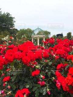 赤いバラの花園の写真・画像素材[1649843]