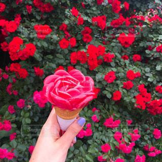 赤いバラの花アイスを持っている手の写真・画像素材[1649870]