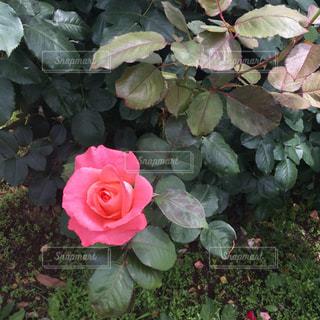美しいピンクのバラの写真・画像素材[1649871]