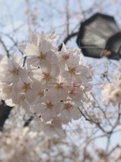 桜と街灯の写真・画像素材[1554037]