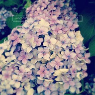 紫陽花の写真・画像素材[977330]