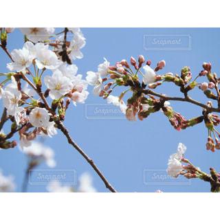桜 - No.1088522
