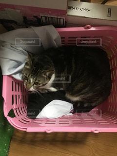 ぼろかごの中の猫の写真・画像素材[923954]