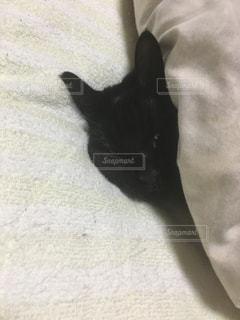 布団の中の黒猫の写真・画像素材[923956]