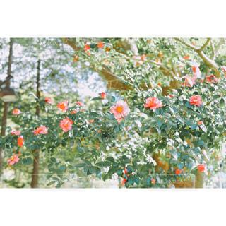 淡い椿の写真・画像素材[939182]