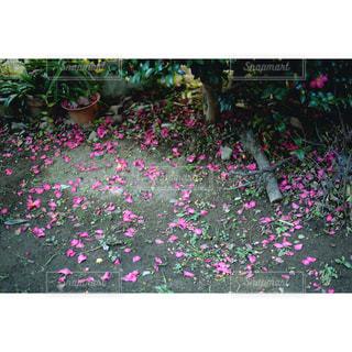 散り花の写真・画像素材[982055]
