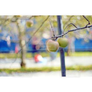 仲良しのリンゴの写真・画像素材[982067]