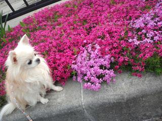 芝桜とチワワ🌸🍃の写真・画像素材[927321]
