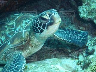 水の下で泳ぐ海亀の写真・画像素材[925211]