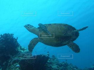 ウミガメの写真・画像素材[926396]