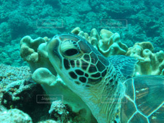 アオウミガメの写真・画像素材[926401]