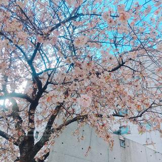 12月の桜の写真・画像素材[925547]