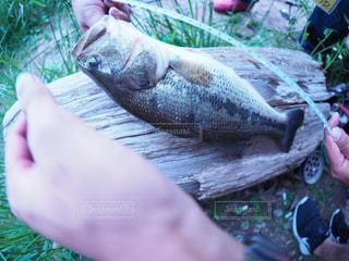 魚の写真・画像素材[592334]