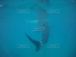ジンベイザメの写真・画像素材[1181200]