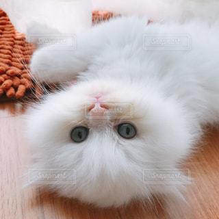 猫のアップの写真・画像素材[927349]