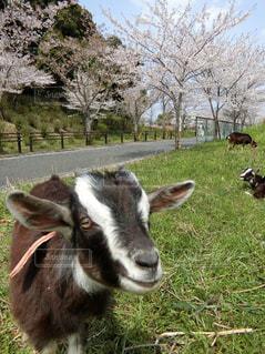 ヤギの花見 - No.1102607