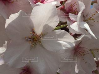 桜 - No.1102671