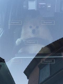 ドライブ犬の写真・画像素材[2370880]