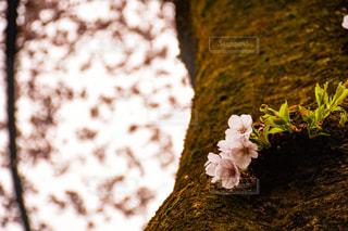 小さな桜の花の写真・画像素材[938663]