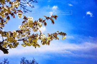 白い桜の写真・画像素材[938674]