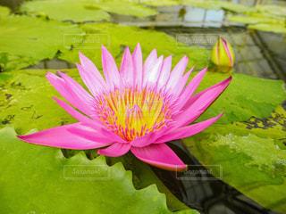 大きな蓮の花の写真・画像素材[958137]