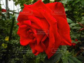 綺麗なバラの写真・画像素材[958151]