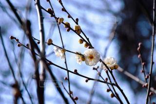 梅の木の写真・画像素材[1591159]