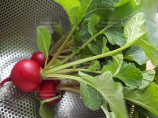 野菜の写真・画像素材[336666]